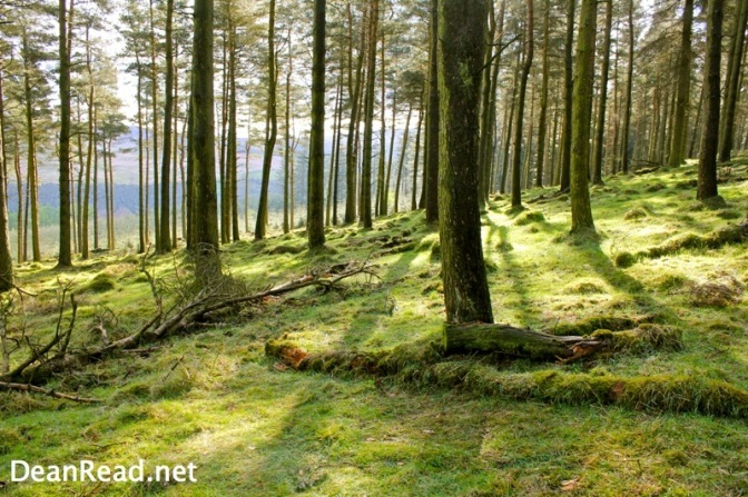 Pine Trees in the Woodlands Valley in the Peak District