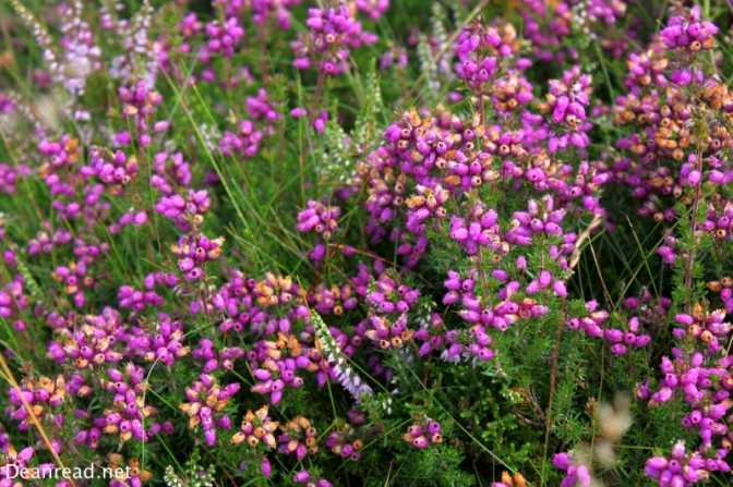 Heather in bloom