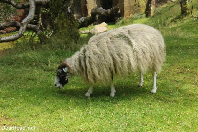 Sheep near Bolehill Quarry